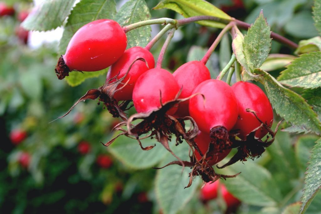 Rosehip essential oil for rosacea