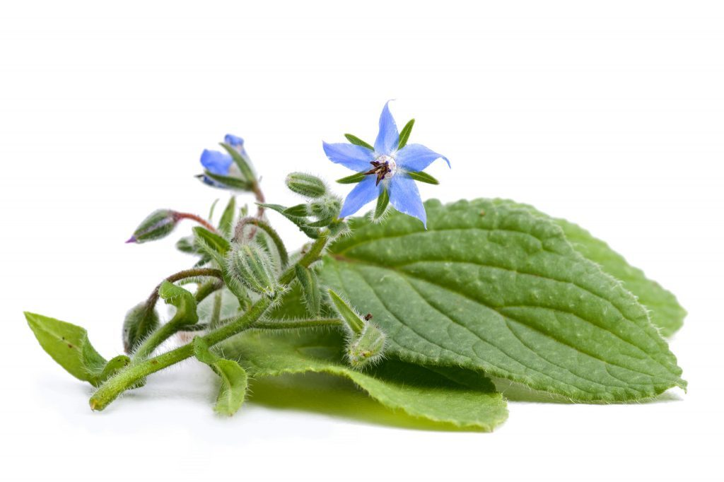 Borage essential oil for rosacea